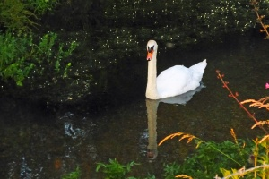 Possibly the most ill-tempered swan in England.