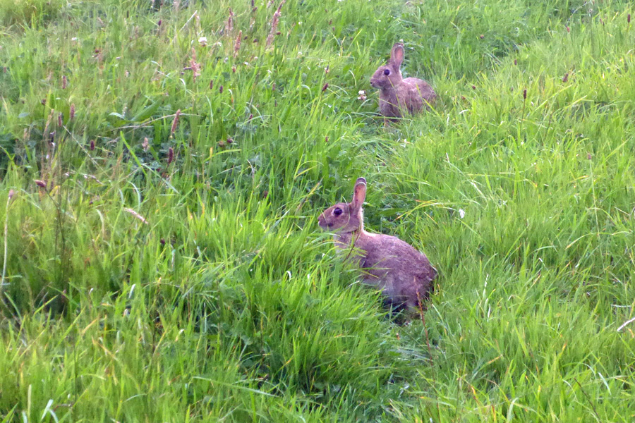 Wabbits, fleeing the machinery and finding themselves caught between a rock and ahard place (I was standing on their escape route)...