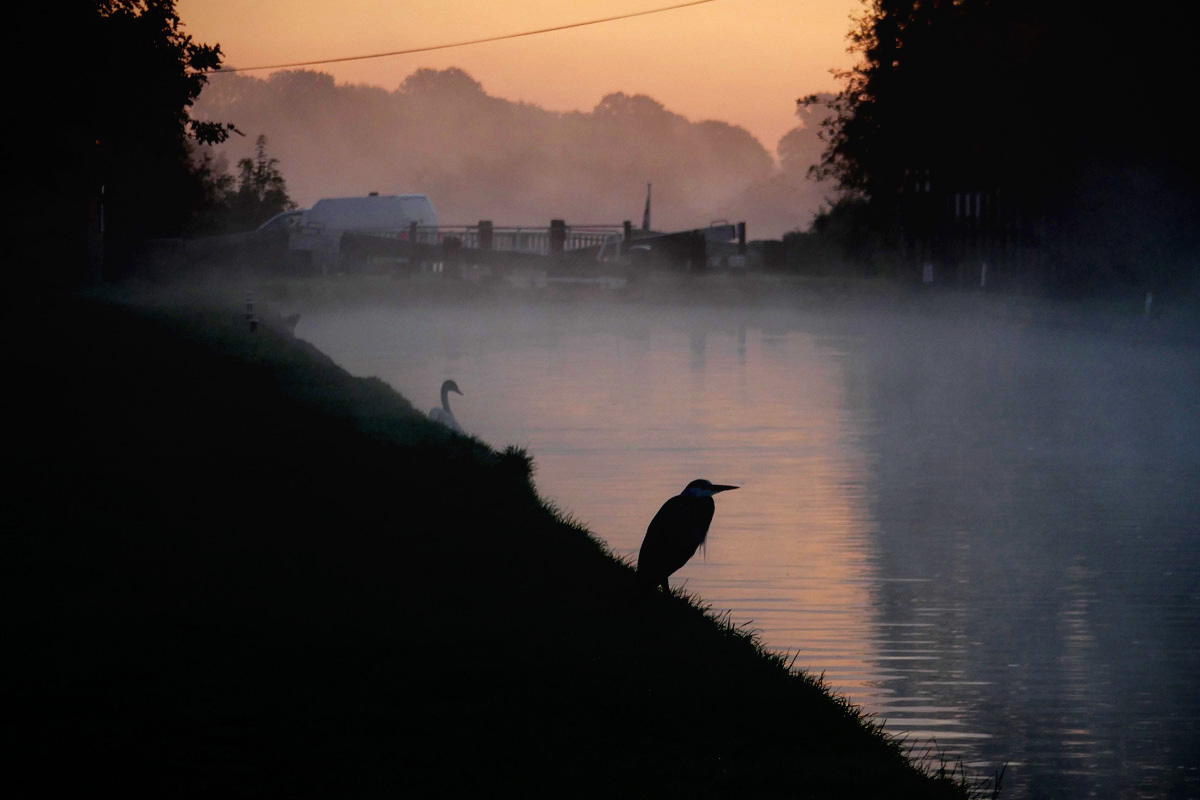 Heron at canal edge early morning